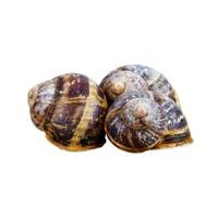 Fresh Shelled Escargots-1